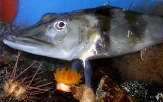 Что такое ледяная рыба