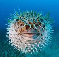Ядовитая рыба шар