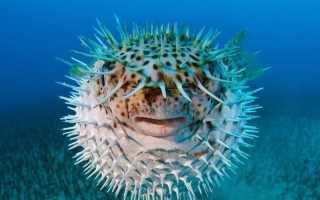 Рыба шар или фугу