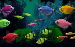 Тернеция розовая рыбка