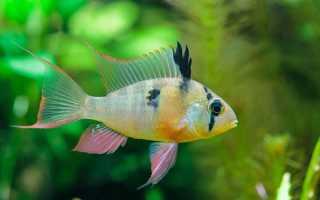 Голубая рыба бабочка