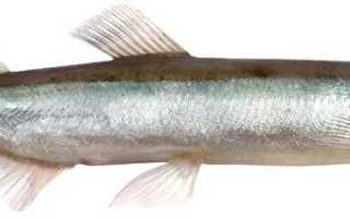 Как выглядит рыба мойва