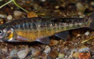Рыба гольян речной