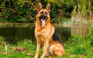 Немецкая овчарка:описание и характеристика породы с фото, уход