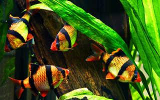 Размножение барбусов в общем аквариуме
