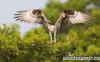 Птица рыболов скопа