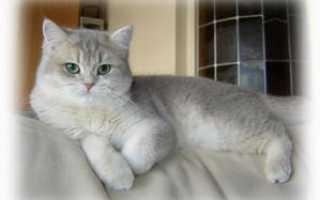 Шотландский прямоухий кот характер особенности