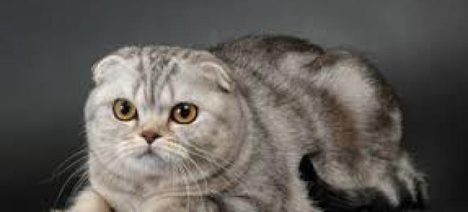 Уход за шерстью шотландской кошки