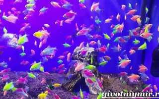 Как размножаются рыбки карамельки