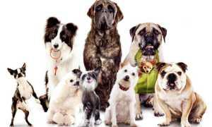 Роял Канин или Проплан: какой корм лучше для собак, состав