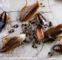 Как растут тараканы