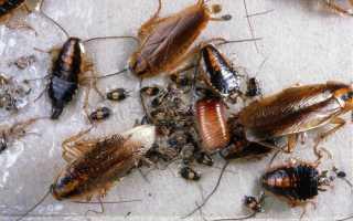 Сколько дней растет таракан