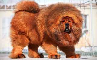 Средний вес тибетского мастифа
