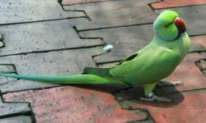Сколько живут ожереловые попугаи в домашних условиях