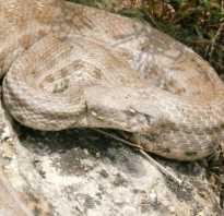 Змеи дагестана фото и названия