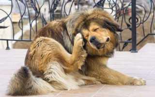 Отодектин: инструкция по применению для собак