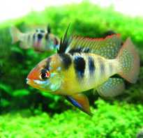 Аквариумная рыбка апистограмма