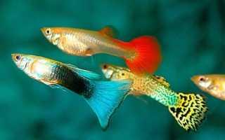 Родина гуппи аквариумные рыбки