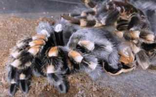 Линька паука это