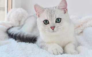 Шиншилла кошка описание породы и характера