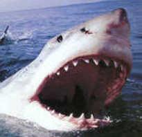 Краткий рассказ про акулу