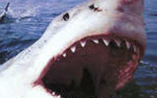 Акула описание для 1 класса