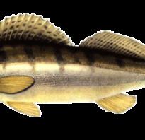 Рыба судак описание