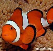 Фотки рыба клоун