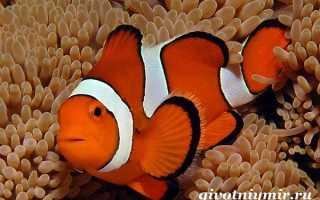 Чем питается рыба клоун