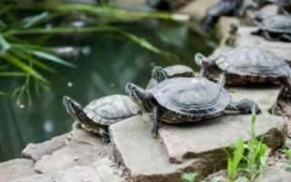 Что едят красноухие черепахи водные