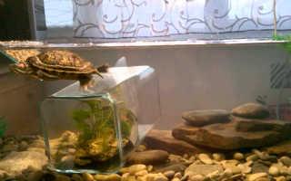 Красноухая черепаха в холодной воде