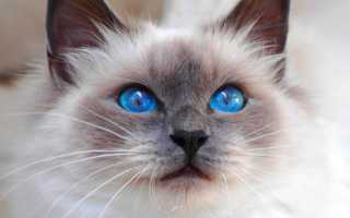 Палитры котят с голубыми глазами