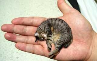 Самая маленькая порода кошек в мире