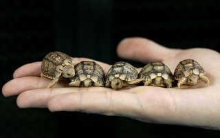 Спаривание черепах сухопутных