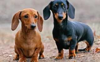Собаки крысоловы породы фото