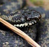 Змеи в тайге