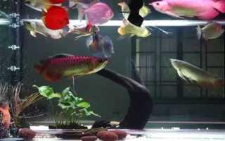 Дискус содержание в аквариуме, совместимость, разведение, фото-видео обзор