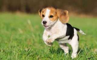 Бигль рост и вес щенка