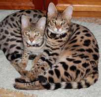 22 кошки с большими ушами: дикие, гибридные, породистые