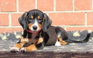 Энтлебухер зенненхунд: описание породы и характеристика собак