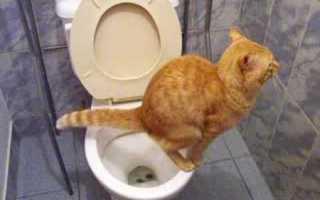 Новорожденный котенок не ходит в туалет