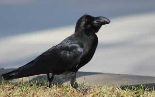 Ворона свистун фото