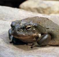 Сравнение лягушки и жабы сходство