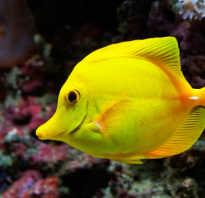 Желтая рыба название