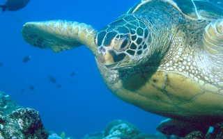 Самая большая черепаха дермохелис