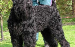 Порода собак черный терьер фото