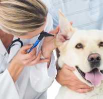 Симптомы у собаки после укуса клеща
