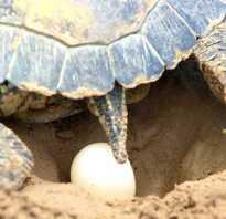 Яйца красноухой черепахи