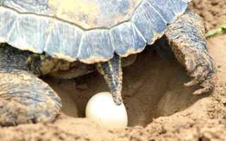Яйца красноухой черепахи фото