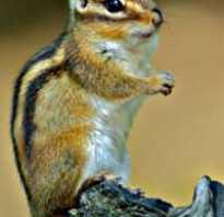 Приспособленность бурундука к среде обитания